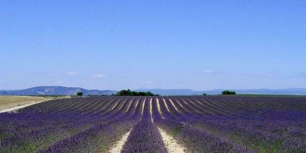 Lavender Fields - Aromatherapy for Childbirth